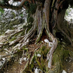 Árboles y Arboledas (II): Tejos Milenarios en la Sierra de Cazorla