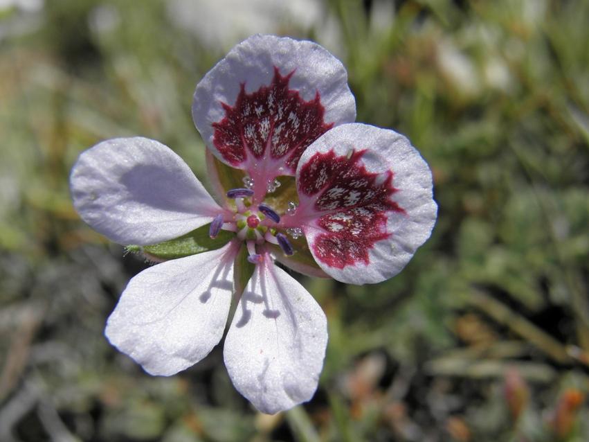 35 - erodium cazorlanum