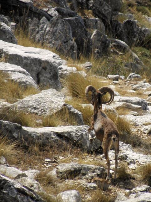 Muflón en el Calar de Juana - Sierra del Pozo